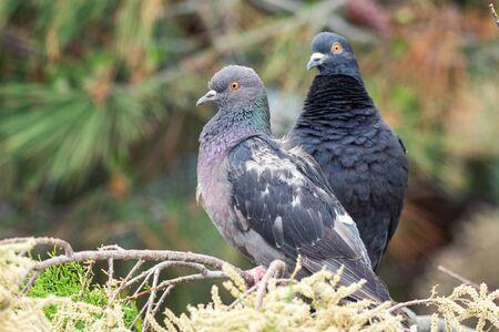 Dove. Two pigeons sitting on a coniferous branch. Reklamní fotografie
