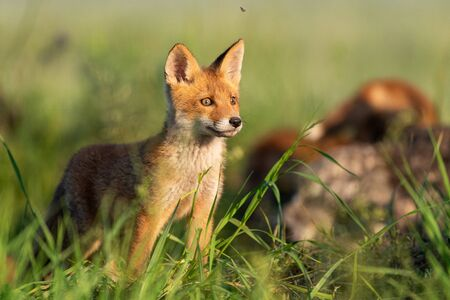 Young red Fox stands in the grass on a beautiful light.