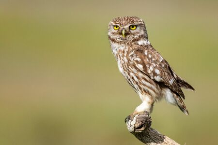 Little owl, Athene noctua, stands on a stick on a beautiful background.