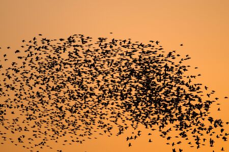 Large flock of Starlings flying at sunset.