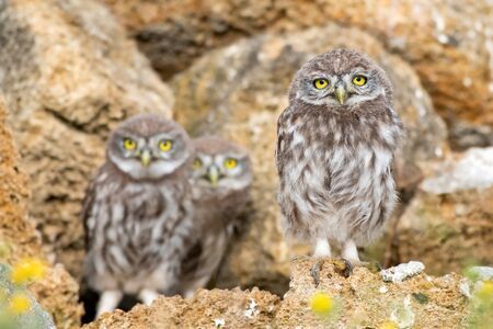 Three young Little owl, Athene noctua, stand on the stones near the hole.