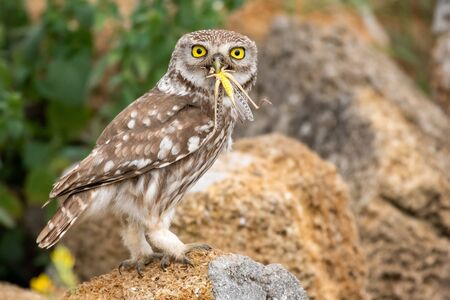 Little owl, Athene noctua, stands on a stone with a locust in its beak. Zdjęcie Seryjne