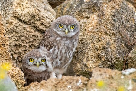 Two young Little owl, Athene noctua, peeking out of a hole in the rocks. Zdjęcie Seryjne