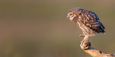 Young Little owl, Athene noctua, stands on a stick on a beautiful background