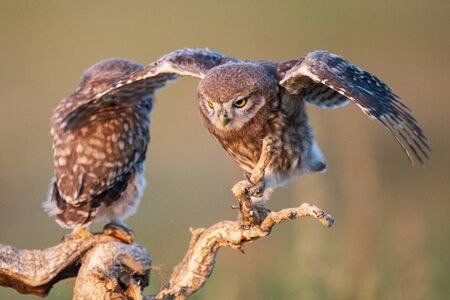 Two Young Little owl, Athene noctua, stands on a stick with open wings