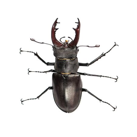 Stag beetle, Lucanus cervus, isolated on white. Closeup, Top view