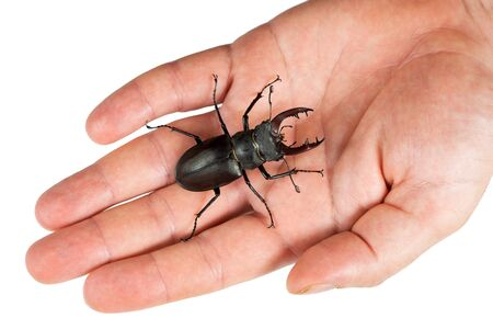 Stag beetle, Lucanus cervus, on a human hand isolated on white. Closeup, Top view