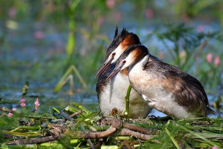Two Great Crested Grebe, Podiceps cristatus, on the nest Zdjęcie Seryjne