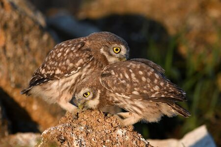 Two young Little owl, Athene noctua, playing on the natural stone Zdjęcie Seryjne