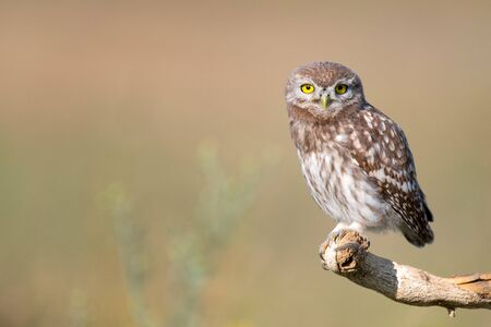 Young Little owl, Athene noctua, stands on a stick on a beautiful background Фото со стока - 127801663