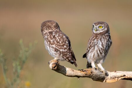 Two young Little owl, Athene noctua, stands on a stick on a beautiful background