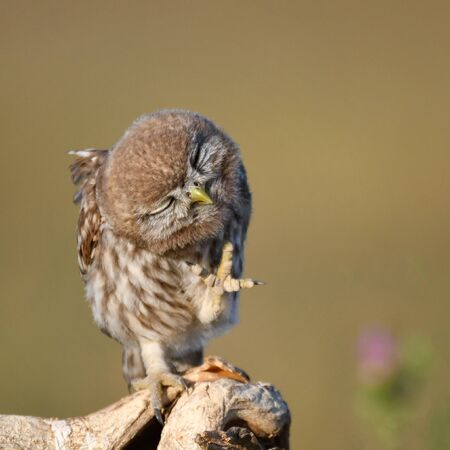 Young Little owl, Athene noctua, stands on a stick with a raised paw on a beautiful background Фото со стока - 127801667