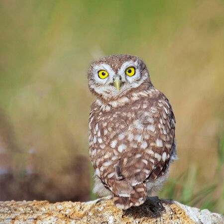 Young Little owl, Athene noctua, stands on a stone with his head turned and looks at the camera Zdjęcie Seryjne