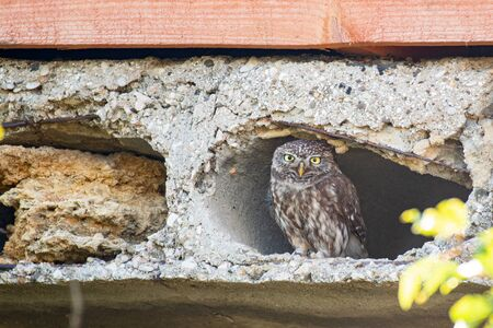 Little owl, Athene noctua, looks out of the hole in the concrete slab