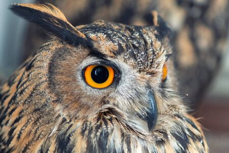 Portrait of the Eurasian Eagle Owl, bubo bubo. On white background. CLose up Фото со стока - 127801673