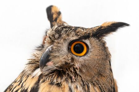Portrait of the Eurasian Eagle Owl, bubo bubo. CLose up Фото со стока - 127801674