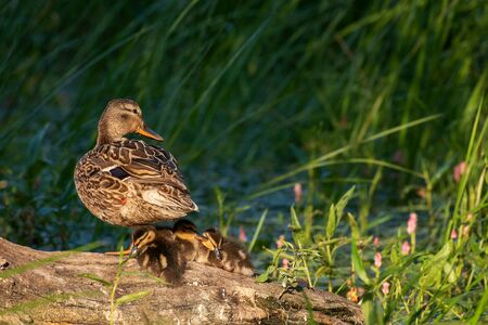 mother duck, mallard duck, anas platyrhynchos, with ducklings on slanting old trunk against green reeds in background