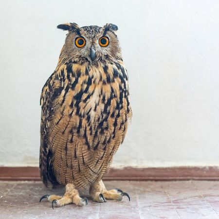 Portrait of the Eurasian Eagle Owl, bubo bubo