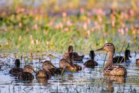 Wild Mallard duck with Ducklings swim in pond, Anas platyrhynchos Reklamní fotografie