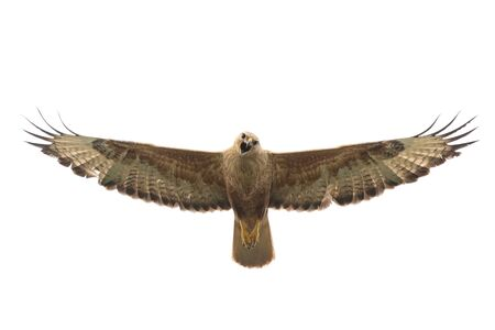 Birds of prey - Long legged buzzard, Buteo rufinus, in flight. Isolated on white Фото со стока - 127801693