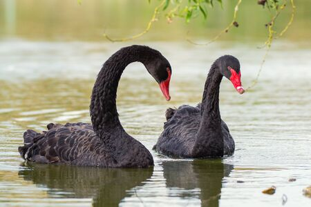 Two black swans float in the lake. Cygnus atratus
