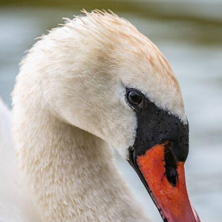 Mute Swan, close up portrait, Cygnus olor. Reklamní fotografie