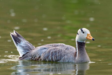 Bar-headed goose, Anser indicus, single bird swims on the lake