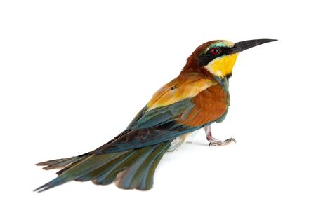 Colorful bird, European bee eater, Merops apiaster, isolated on white background.