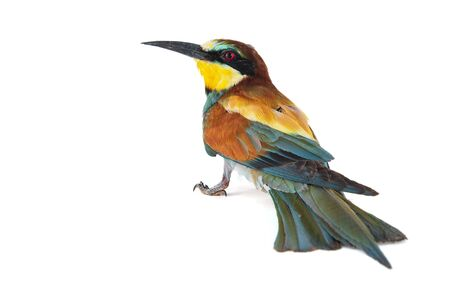 European bee eater, Merops apiaster, isolated on white background. Фото со стока - 127801720