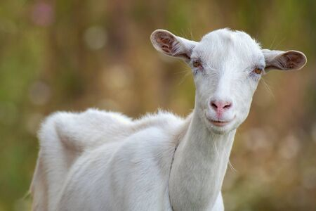 Portrait of a funny goat looking to a camera. Close Up. Фото со стока - 127801348