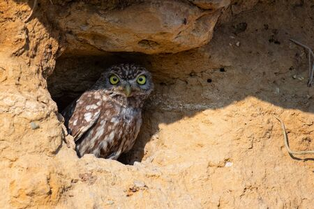 Little owl, Athene noctua, peeking out of a hole.