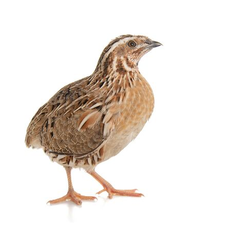 Wild quail, Coturnix coturnix, isolated on a white background. 스톡 콘텐츠 - 127801352