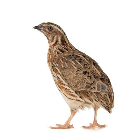 Wild quail, Coturnix coturnix, isolated on a white background. Фото со стока - 127801354