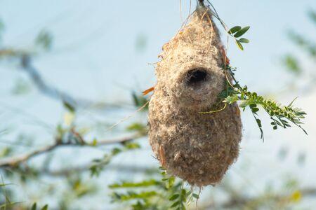 Nest of a Penduline Tit, Remiz pendulinus. Фото со стока - 127801359