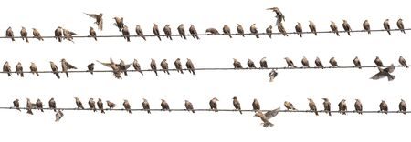 Flock of Common Starling, Sturnus vulgaris,on electricity wires. A lot of birds on white background.