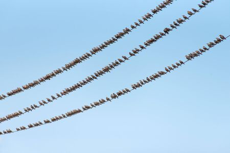 Flock of Common Starling, Sturnus vulgaris,on electricity wires. A lot of birds on blue background.