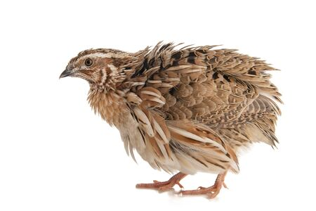 Wild quail, Coturnix coturnix, isolated on a white background.