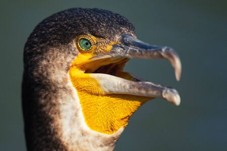 Portrait of Great Cormorant. Phalacrocorax carbo. Close up.