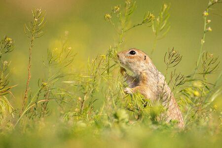 Funny Ground squirrel, Spermophilus pygmaeus, in natural habitat. Side view.