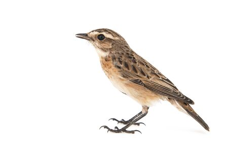 Whinchat, Saxicola rubetra, isolated on white background Banque d'images