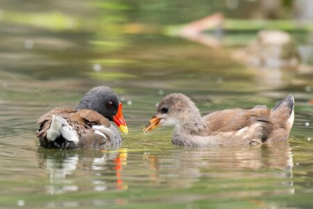Common Moorhen, Gallinula chloropus, with his chick in the pond.