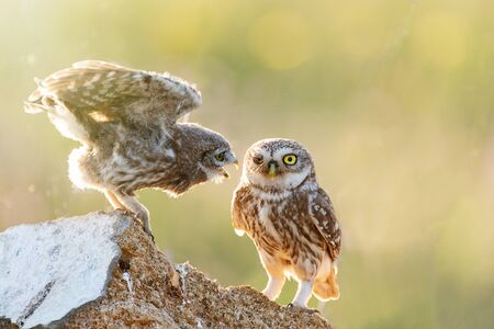 Two Little owls, Athene noctua, stand on the stone against a blurred natural background. With copy space.