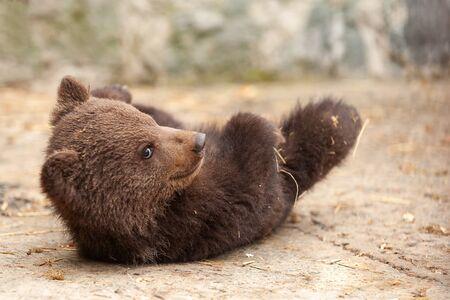 Cute baby brown bear in zoo. Bear lying on the floor in the enclosure. Reklamní fotografie
