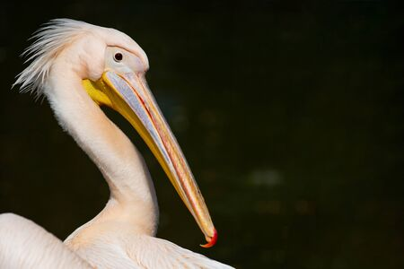 Close up portrait of pelican in zoo.