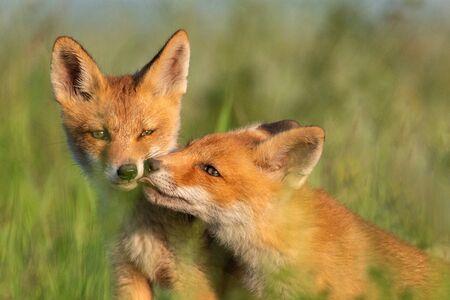 Dwa młode czerwone lisy w trawie na pięknym świetle.