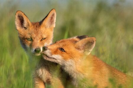 Two young red Foxes in grass on a beautiful light.