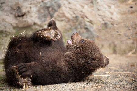 Cute baby brown bear in zoo. Bear lying on the floor in the enclosure. 写真素材