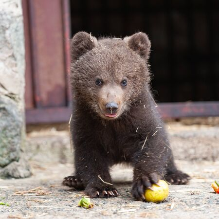 Cute baby brown bear in zoo. Bear stands and looks at the camera. Zdjęcie Seryjne