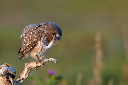 Young Little owl, Athene noctua, stands on a stick with a raised paw on a beautiful background.