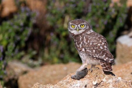 Young Little owl, Athene noctua, stands on a stone and holds a mouse in his paw. Zdjęcie Seryjne